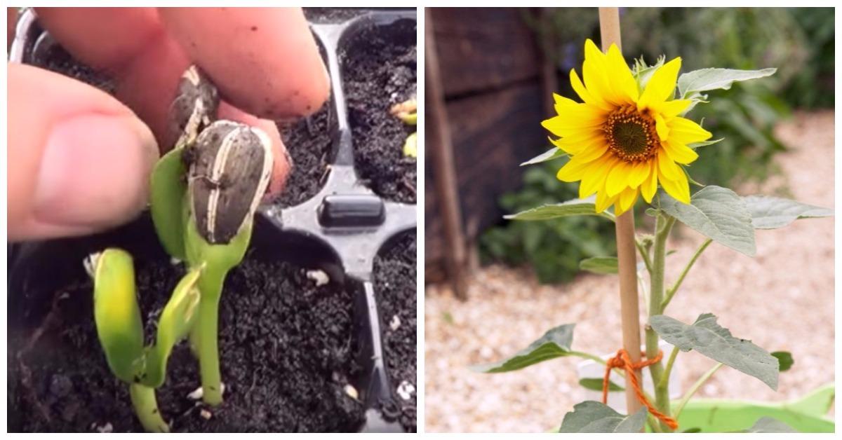 c mo cultivar girasoles en casa es muy f cil